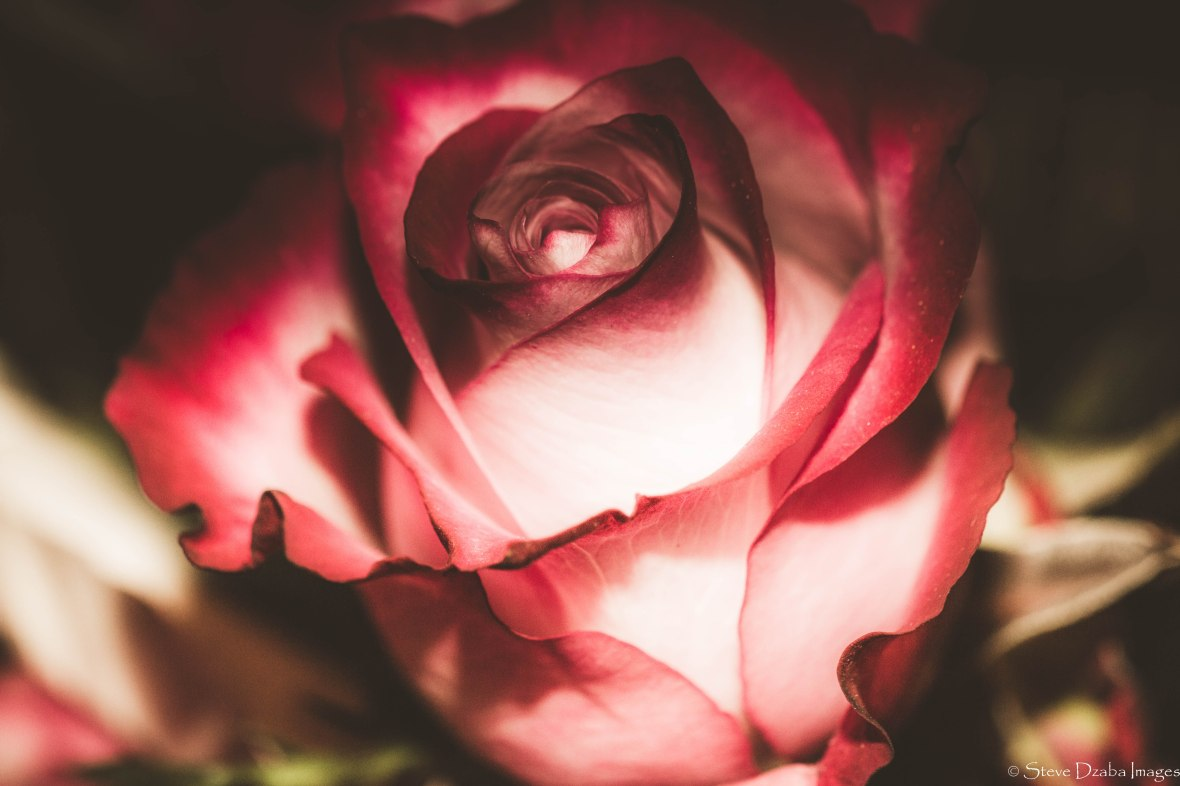 floral-portrait-series-the-glory-of-a-rose