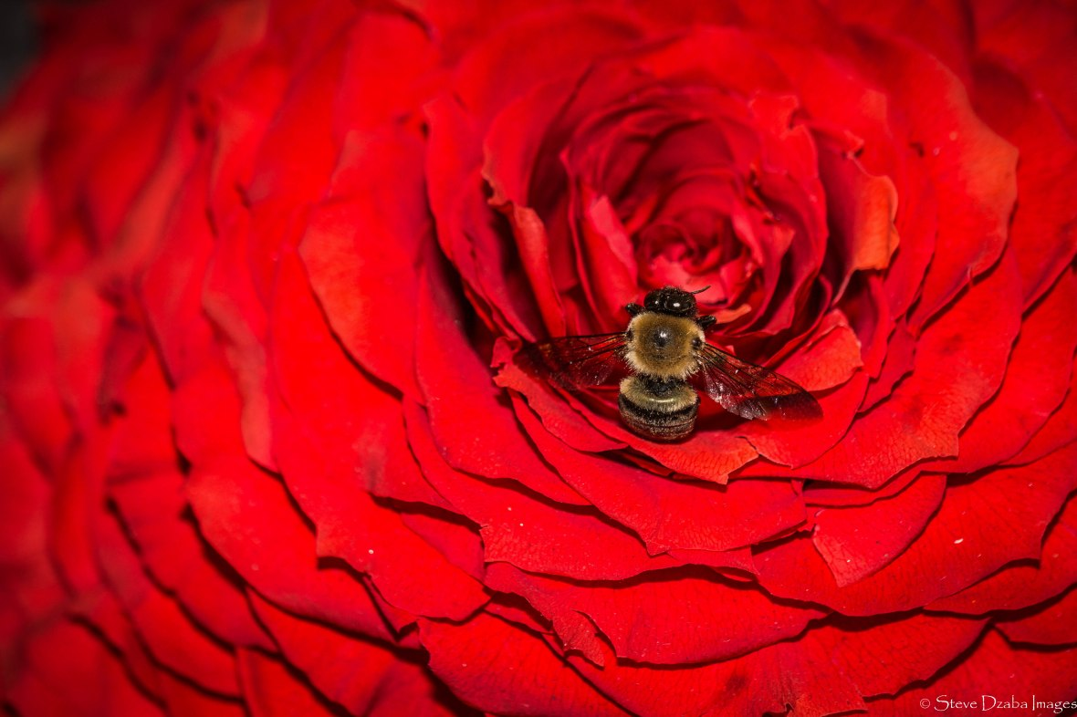 Nature Portrait Series: Hypnotized By An Imperial Rose