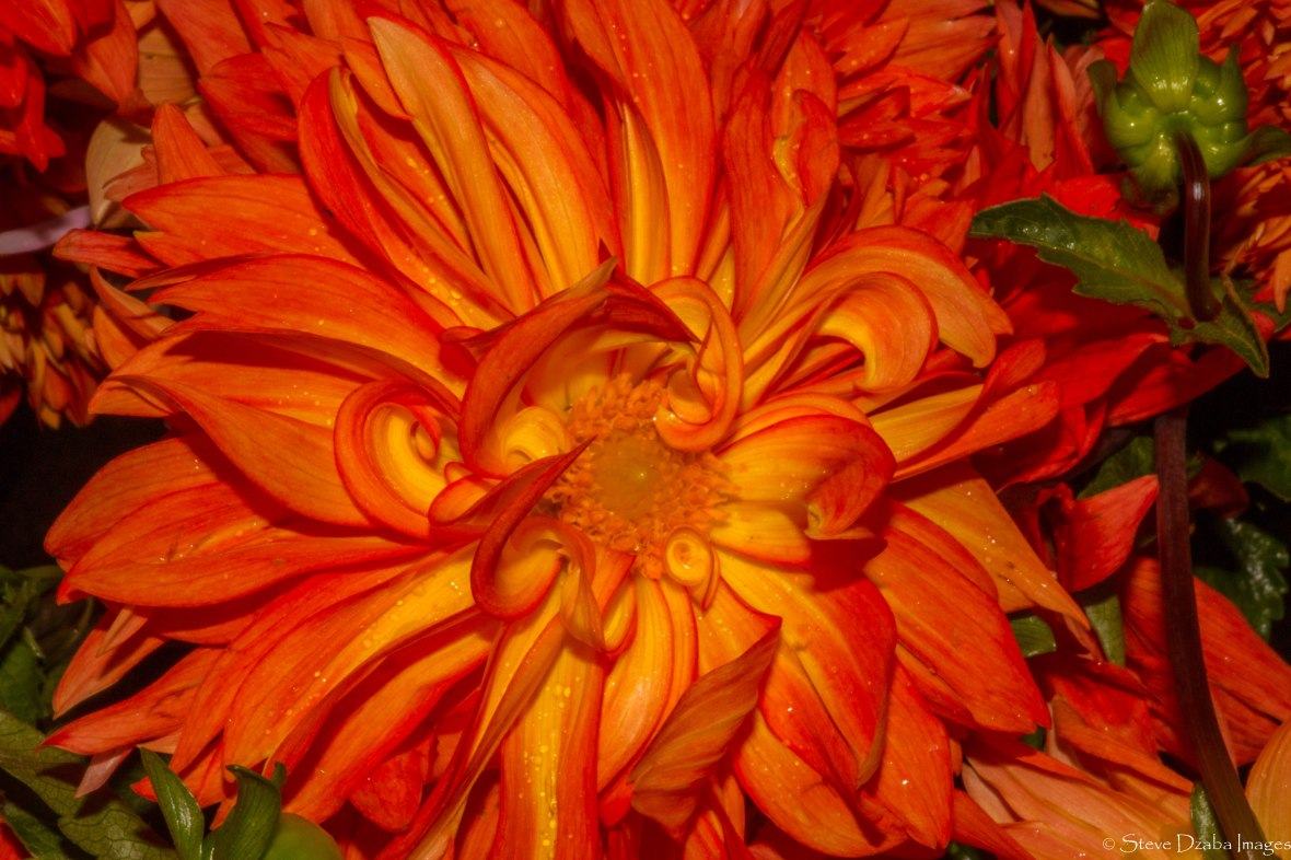 The Orange Flame Dahlia Macro Editions