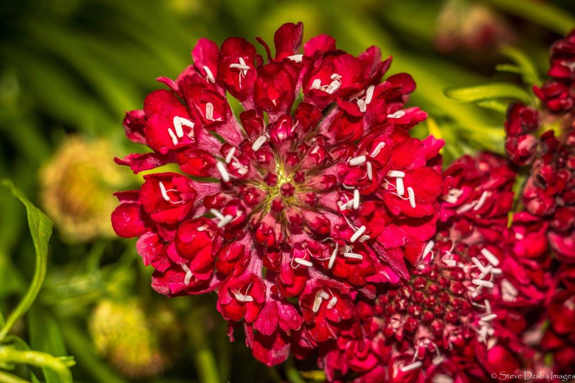 Red Scabiosa Macro Edition III