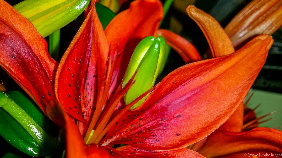 Floral Portrait Series: The Tiger Lily