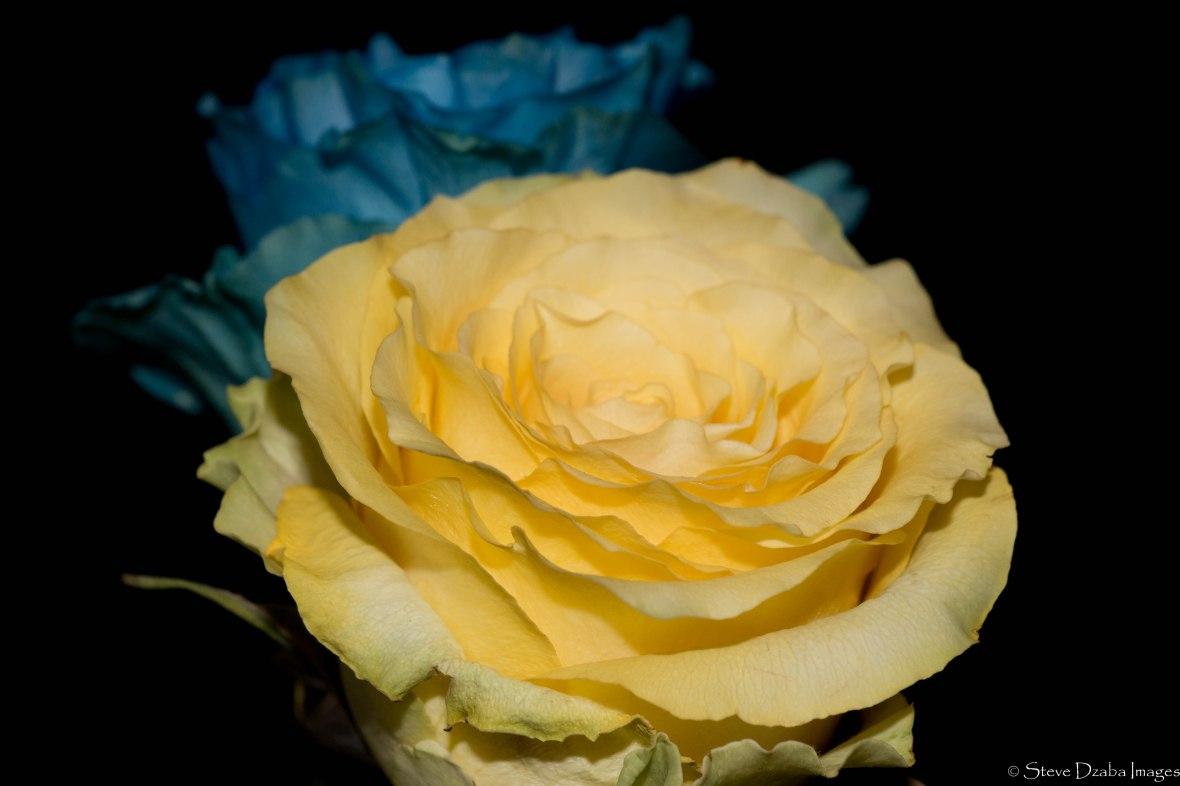 sunshine-yellow-blue-roses-no-more-drama-remix-limited-edition