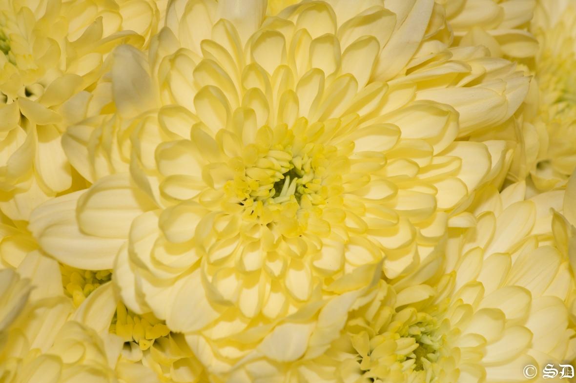 sunshine-yellow-pom-pom-flowers