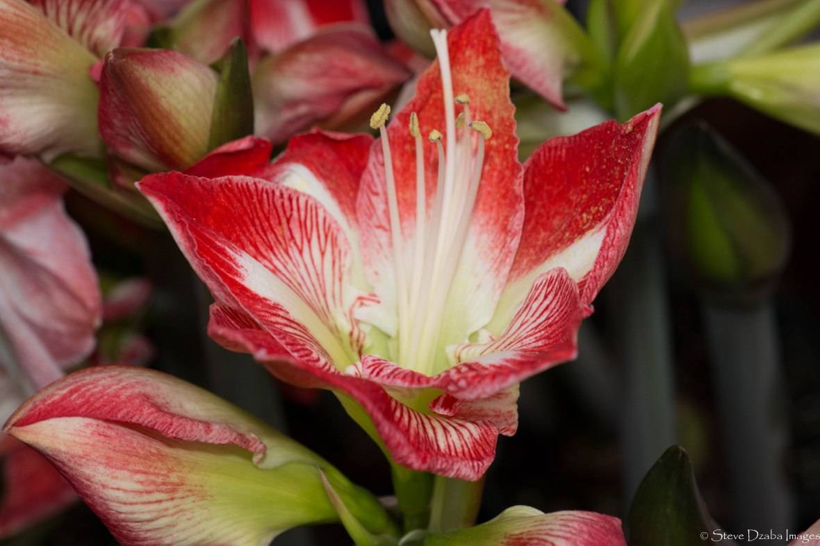 Floral Portrait: The Apple Blossom Amaryllis